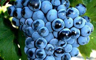 Виноград саперави северный: описание сорта, фото, отзывы