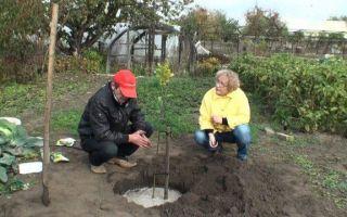 Яблоня Мечта: описание, фото,  отзывы садоводов, посадка