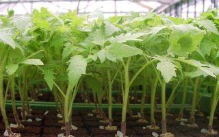 Выращивание рассады помидор без земли
