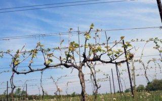 Виноград элегант сверхранний: описание сорта, фото, отзывы, видео