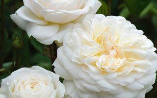 Роза клэр остин: описание + фото