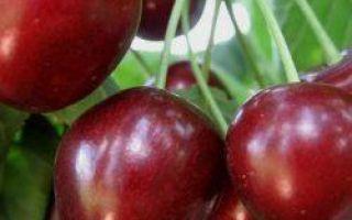 Черешня Крупноплодная: описание сорта, фото, отзывы, опылители, морозостойкость