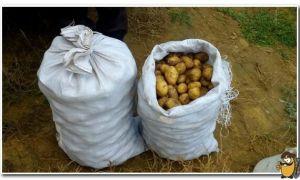 Почему зеленеет картофель при хранении на свету: распространенные причины и способы решения