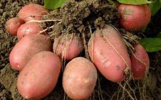 Картофель розара: описание сорта, фото, отзывы