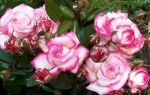 Роза плетистая профессор хендель: отзывы, описание, фото, видео