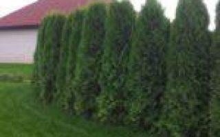 Живая изгородь из туи: как сажать, какой сорт выбрать