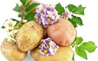 Почему картошка чернеет внутри при хранении и что сделать?