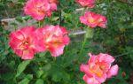 Пересадка роз осенью на другое место: можно ли, когда и как пересаживать, видео