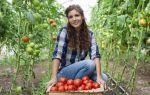 Время посадки рассады помидор для теплицы