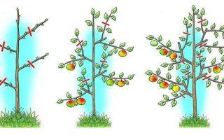 Яблоня Лобо: описание сорта, фото, отзывы, посадка