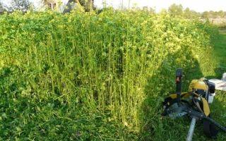 Чем засеять участок, чтобы не росли сорняки