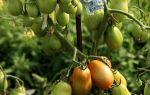 Полив помидорной рассады после высадки в грунт