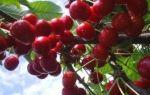 Черешня аделина: описание сорта, морозостойкость, опылители, фото, отзывы