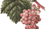 Виноград супер экстра: описание сорта, фото, отзывы