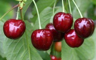 Черешня Родина: описание сорта, фото, опылители, морозостойкость, отзывы садоводов