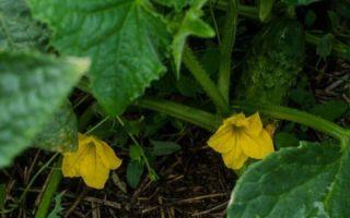 Огурец либелла f1: описание сорта, фото, отзывы