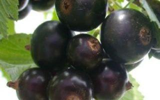 Черная смородина Изюмная: описание сорта, фото, отзывы