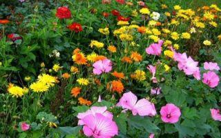 Низкорослые цветы однолетники с фото и названиями