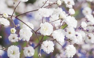 Гипсофила многолетняя снежинка: выращивание из семян