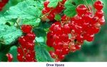 Красная смородина уральская красавица: описание сорта, фото, отзывы