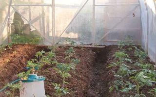 На каком расстоянии высаживают томаты