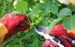 Как обрезать кустовую розу весной + видео