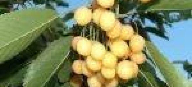 Черешня Сказка: описание сорта, опылители, фото, отзывы садоводов