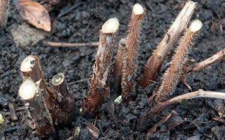 Как правильно посадить ремонтантную малину