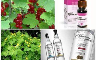 Нашатырный спирт и смородина: как обрабатывать от тли, правила и сроки обработки