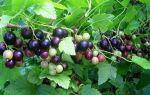 Смородина добрыня: описание сорта, фото, отзывы