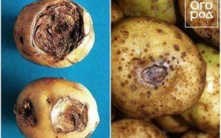 Болезни ботвы картофеля