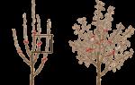 Обрезка яблони весной для начинающих: схемы, сроки, правила