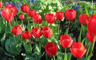 Сорта мелколуковичных многолетников для сада