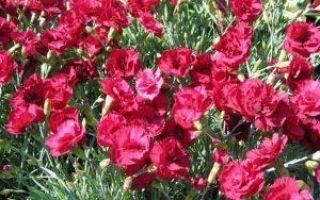 Гвоздика шабо: выращивание из семян, когда сажать на рассаду