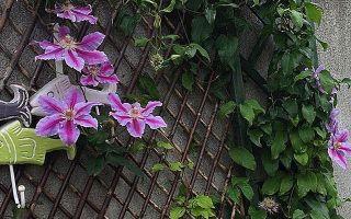 Клематис нелли мозер: описание сорта, фото, отзывы, группа обрезки, посадка и уход