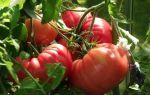 Характеристика и описание сорта томата Бычье сердце: какие особенности учесть при выращивании