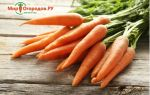 Морковь короткая