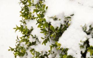 Яблоня не сбросила листья на зиму: что делать?
