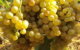 Виноград кишмиш 342: описание сорта, фото, отзывы из подмосковья