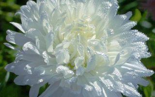 Названия многолетников с белыми цветами