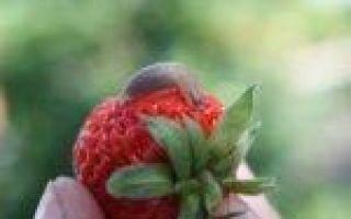 Клубника клери: описание сорта, фото, отзывы