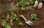 Клубника кент: описание сорта, фото, отзывы садоводов