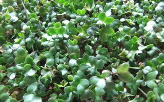 Как посадить брокколи капусту на рассаду: когда сеять, как сажать, видео