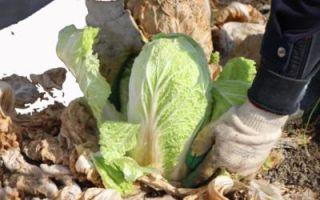 Капуста пекинская бокал: выращивание, уход, отзывы