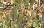 Черешня Овстуженка: описание сорта, опылители, морозостойкость, фото
