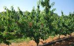 Черешня Орловская розовая: описание сорта, фото, отзывы, как сажать, опылители