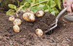 Описание сорта картофеля журавинка