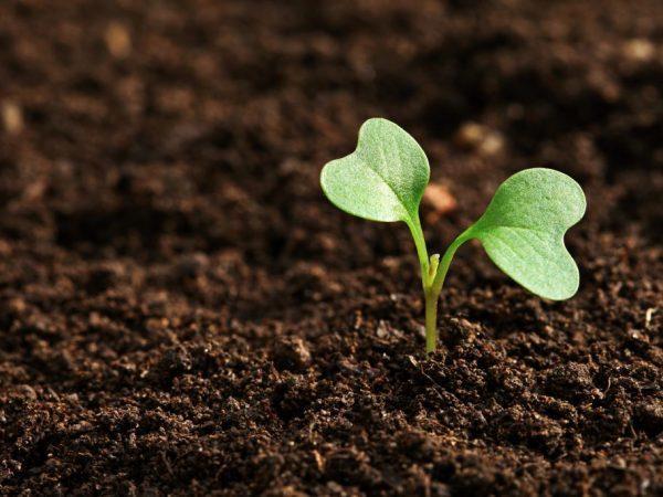 Когда сеять семена капусты на рассаду в Сибири