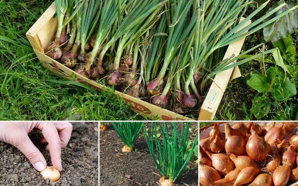 Можно ли сажать семейный лук под зиму: когда и как посадить
