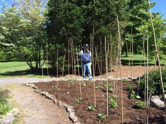 Георгины: проращивание клубней после зимы